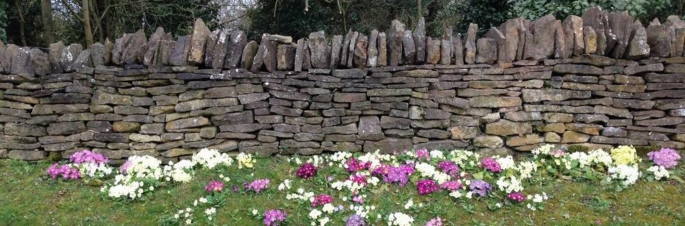 pilton-wild-primroses-oakham-high-street-north-luffenham-walks